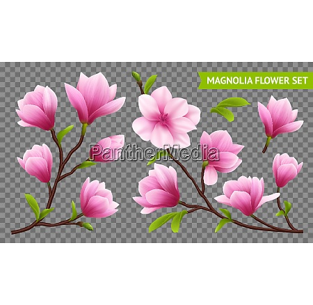 colored and isolated realistic magnolia flower