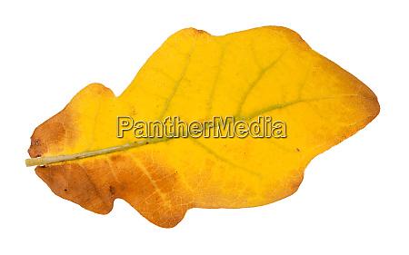 back side of fallen yellow oak