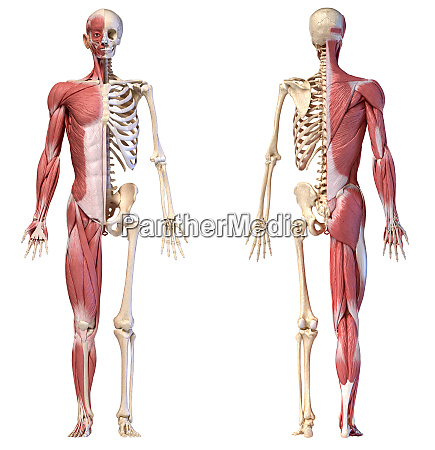 anatomy of human male muscular and