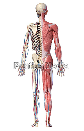 3d illustration of human full body