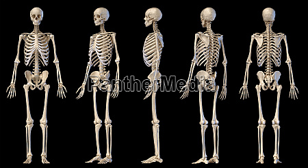 human male skeleton full figure five