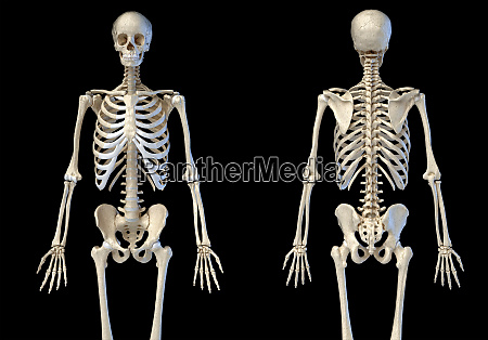 human male skeleton 34 figure front