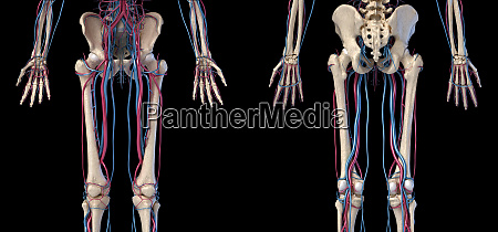 human body anatomy hip legs and