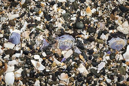 broken seashells on a beach blackie