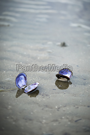 two open bivalve shells on the