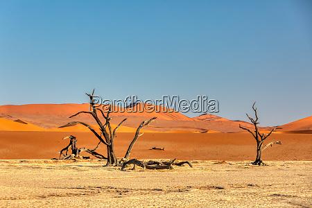 albero di acacia secco morto a