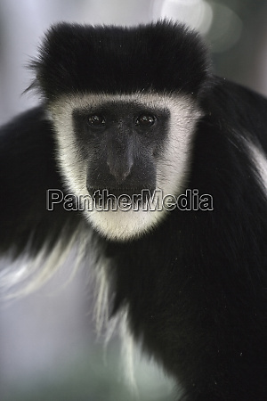 abyssinian black and white colobus colobus