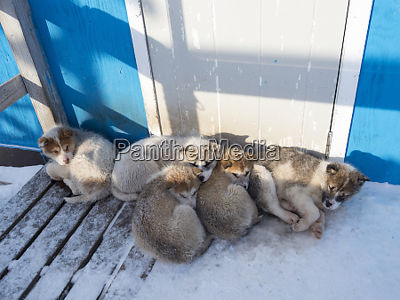 sled dog litter of pups in