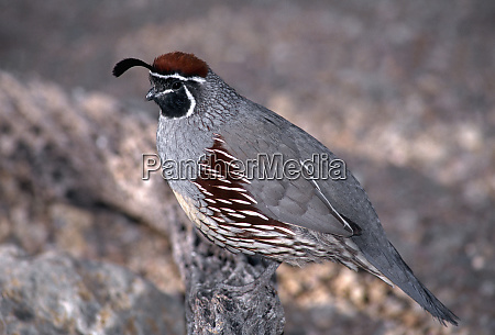 gambels quail lophortyx gambelii male perched