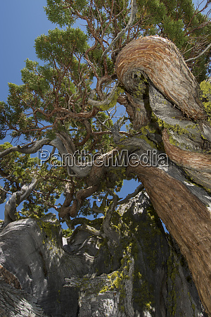 ancient juniper tree near echo lake