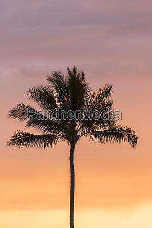 usa hawaii kauai lawai palm tree