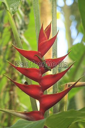 gecko on heliconia hawaiian tropical botanical