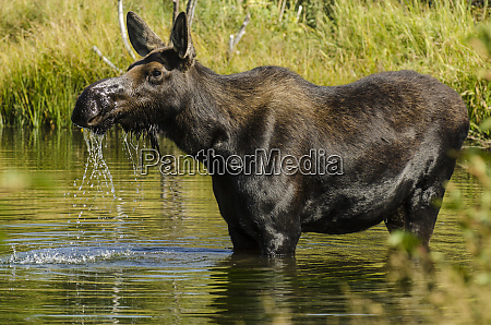 moose alces alces grand teton national