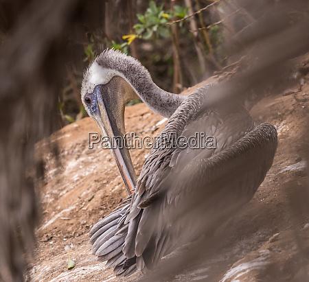 brown pelican portrait 3