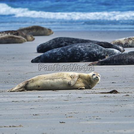 grey seal on heligoland island