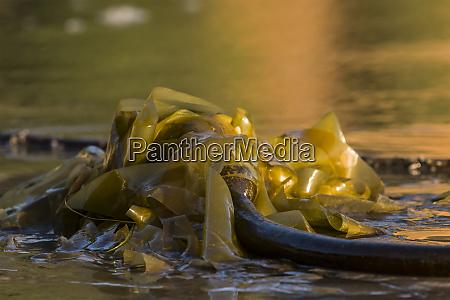 bull kelp nereocystis luetkeana washes up