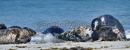 foca grigia sulla spiaggia di heligoland