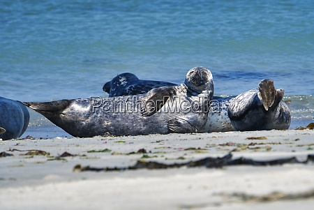 grey seal on the beach of
