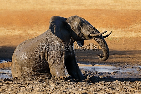 elefante africano nel fango kruger