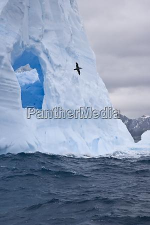 south atlantic south georgia island albatross