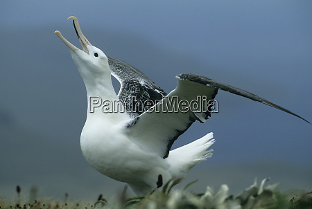 royal albatross diomedea epomophora gamming campbell