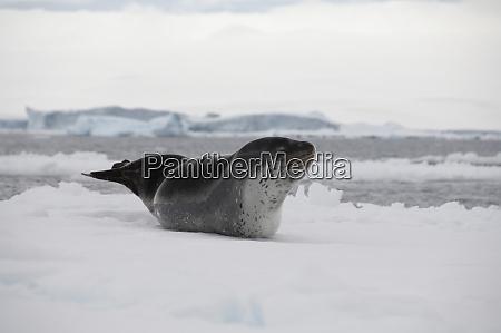antarctica antarctic penninsula antarctic sound leopard