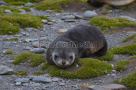 south georgia salisbury plain antarctic fur