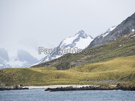 chinstrap penguin pygoscelis antarctica near cooper