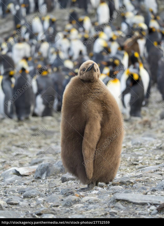 pinguino, re, (aptenodytes, patagonicus), sull'isola, della - 27732559