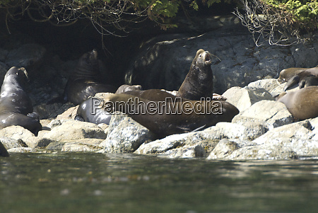 sea lions cavorting near batley island
