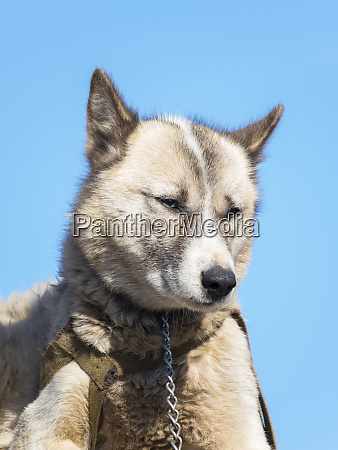 sled dogs in the small town