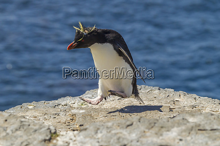 falkland islands bleaker island rockhopper penguin