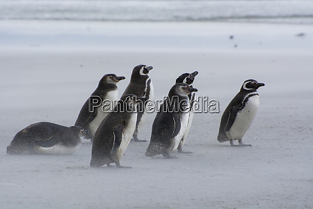 falkland islands saunders island magellanic penguins