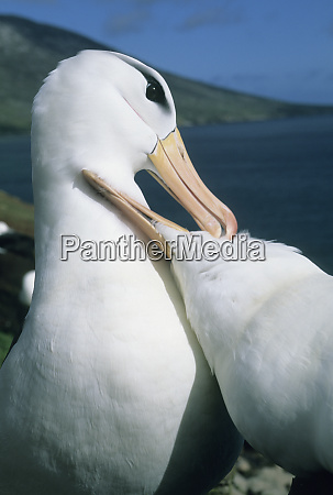 black browed albatross diomedea melanophris courtship