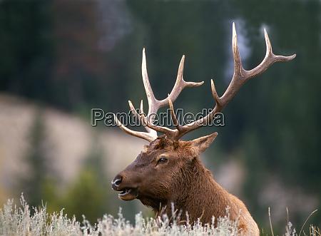 rocky mountain elk cervus canadensis nelsonii