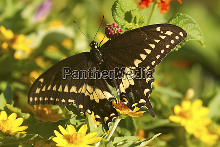 black swallowtail butterfly papilio polyxenes male