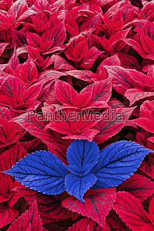 foglie di coleus rosse e blu