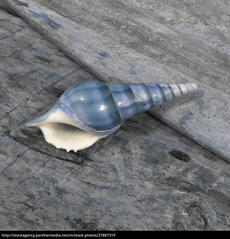 natutical, shell, natura, morta. - 27887319