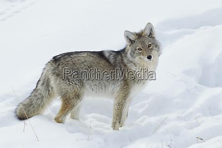 coyote alla ricerca