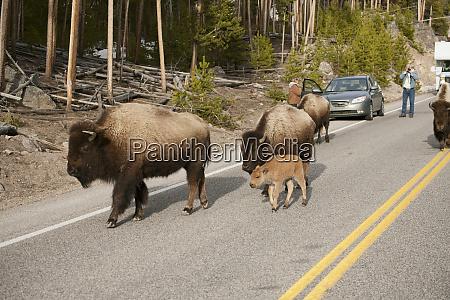 parco nazionale di yellowstone wyoming bison