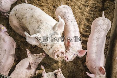vista ad alto angolo dei maiali