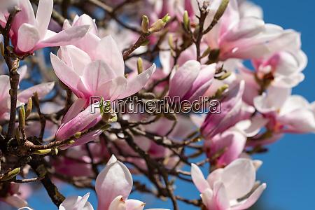 pianta, ornamentale, in, fiori, di, magnolia - 28258537