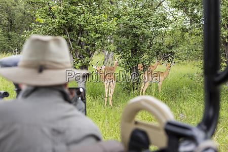 una guida safari che guarda limpala