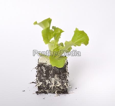 batavia, salad, plants - 28975275