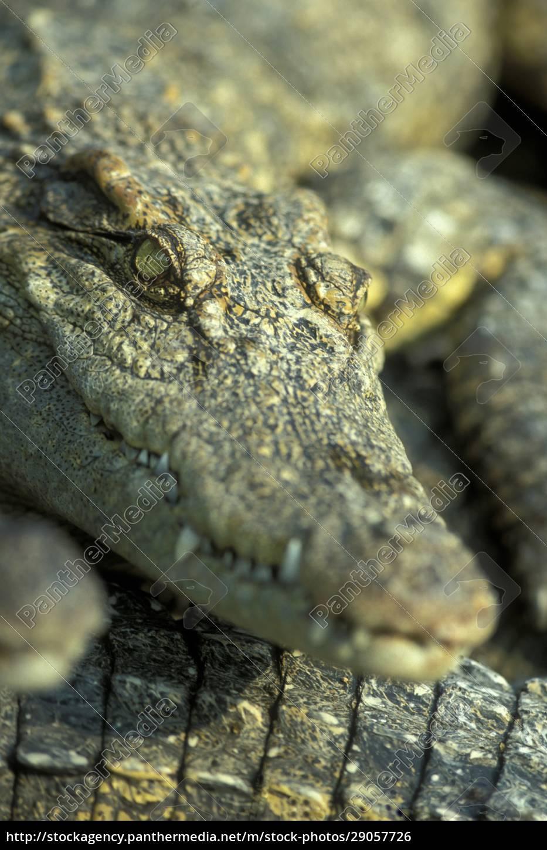 cambodia, siem, reap, crocodile, farm - 29057726