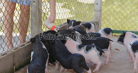 feed, little, pig, at, farm - 29194941