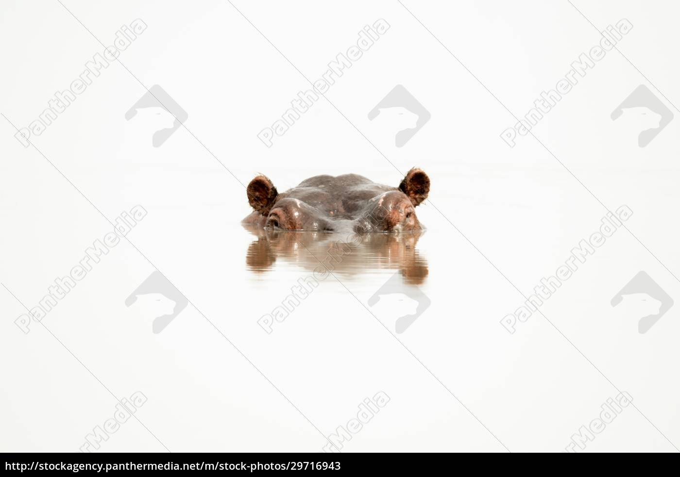 hippo, head, with, rippled, reflection, in - 29716943