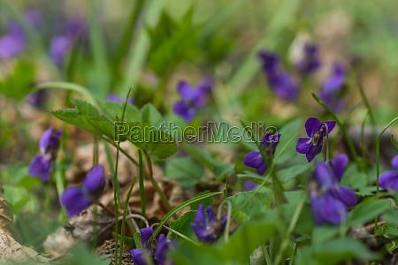 molte viole fresche profumate nella foresta