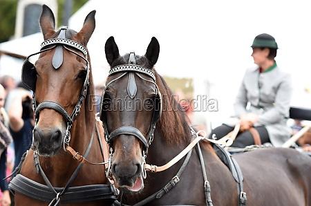 ein pferdegespann beim bauernmarkt a mondsee