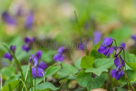 violoet fresco fragrante in piante verde